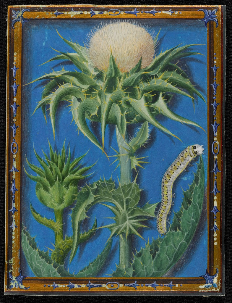 A Thistle and a Caterpillar (circa 1560-1580) by Jacques Le Moyne de Morgues, gouache on vellum.