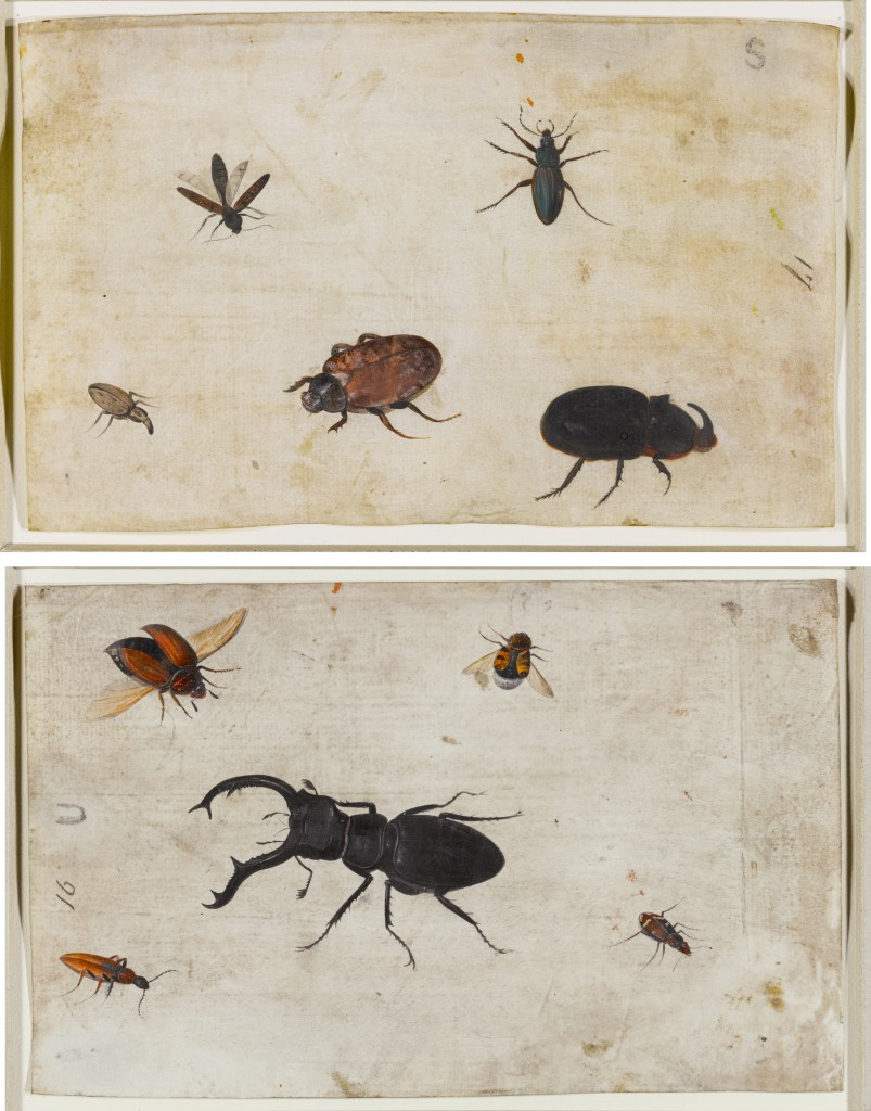 A Study of Insects; A Study of a Beetle and Other Insects: A Pair (early 17th century) by the Dutch School, gouache on vellum.
